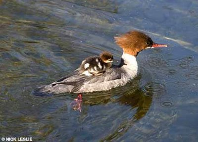 แม่เป็ดตัวน้��ยๆ พาลูกขี่หลังว่ายน้ำ